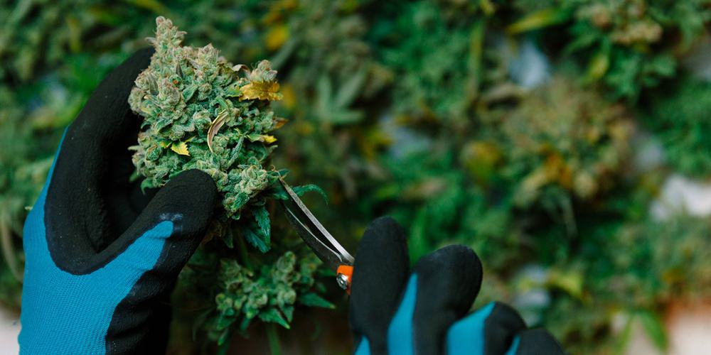cannabis jobs featured image